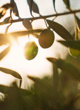 Ager Oliva: adotta un ulivo abbandonato in Toscana e sostieni TerraLab