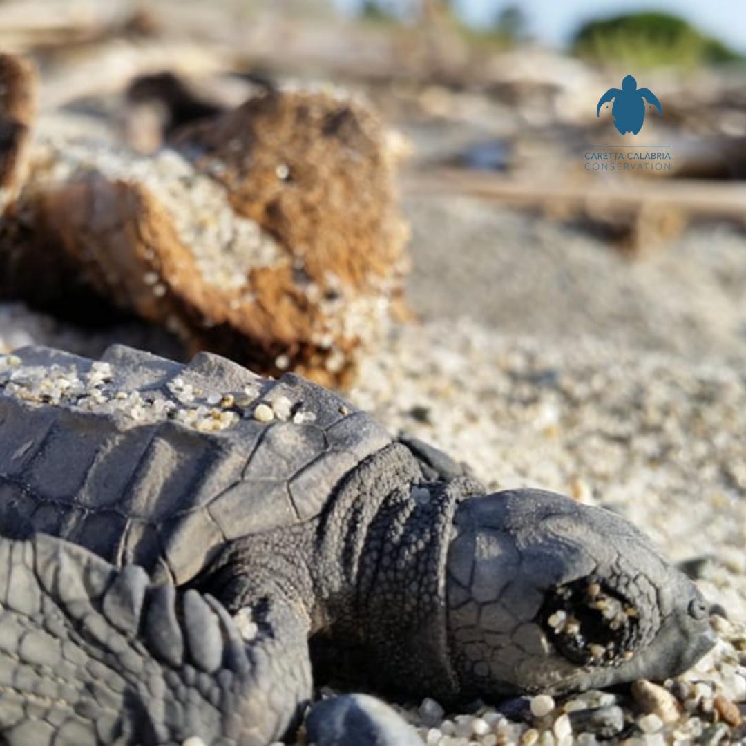 Caretta Calabria Conservation e la salvaguardia delle tartarughe marine